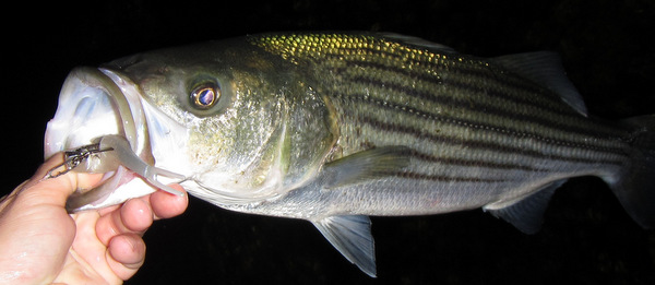 Surf reports for Striper fishing at night