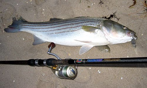 Surf fishing 11 24 04 for Surf fishing for stripers